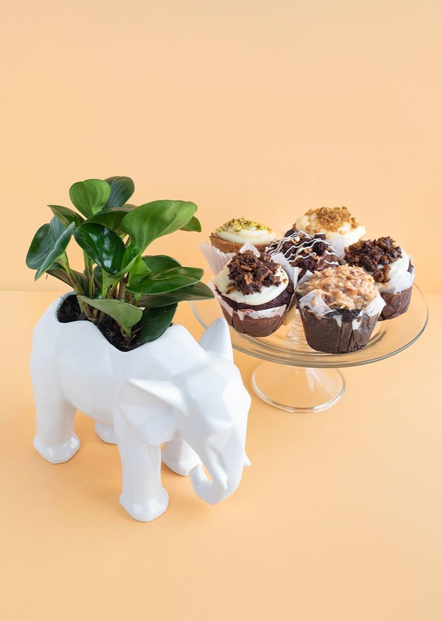 Imagen para Peperomia en base de elefante con Muffins - 1