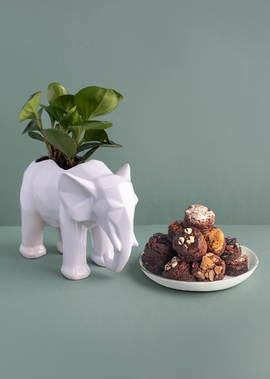 Imagen para Planta Peperomia en base de Elefante con Brownies - 1