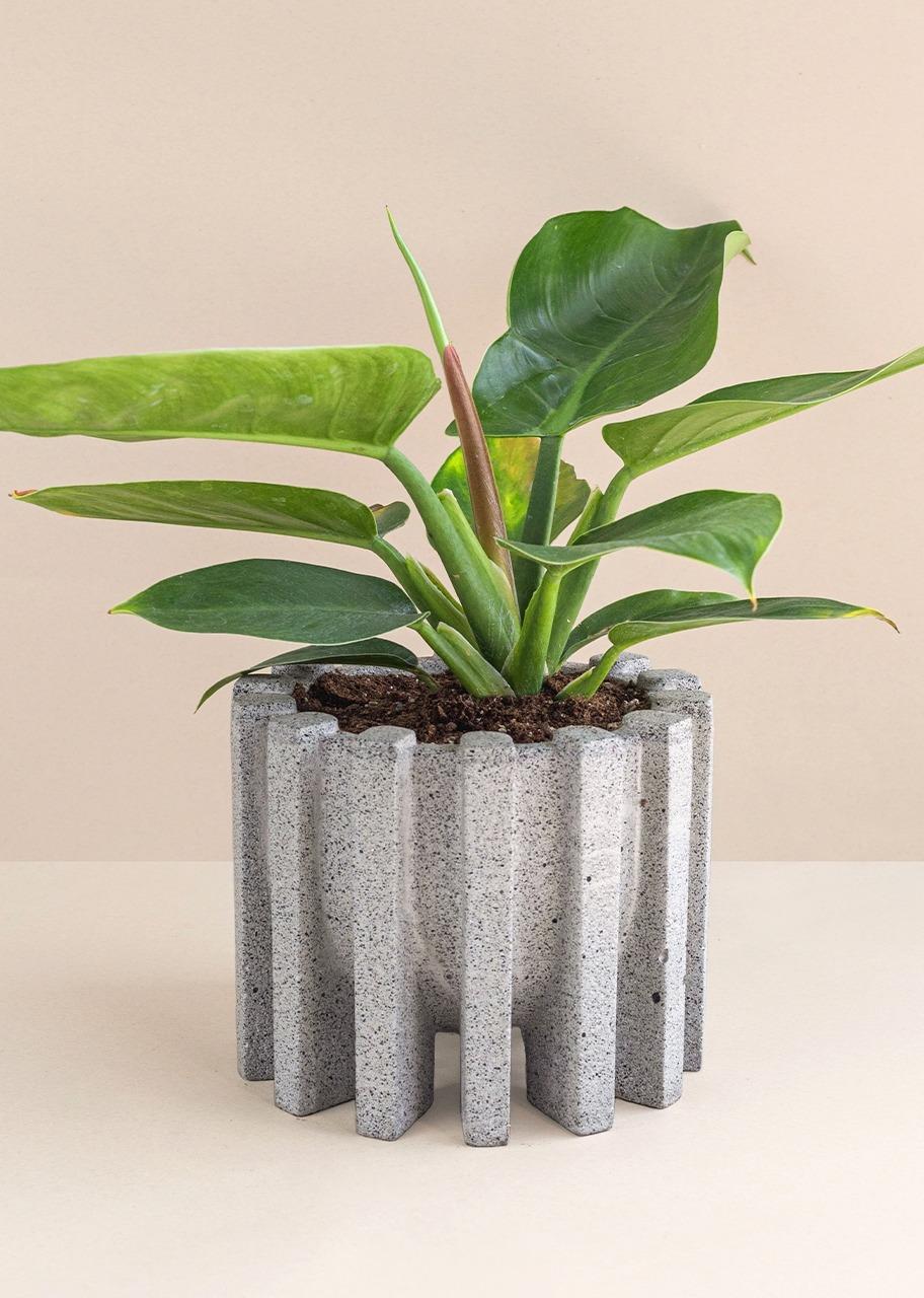 Imagen para Maceta Teo con  Planta Phylodendro - 1