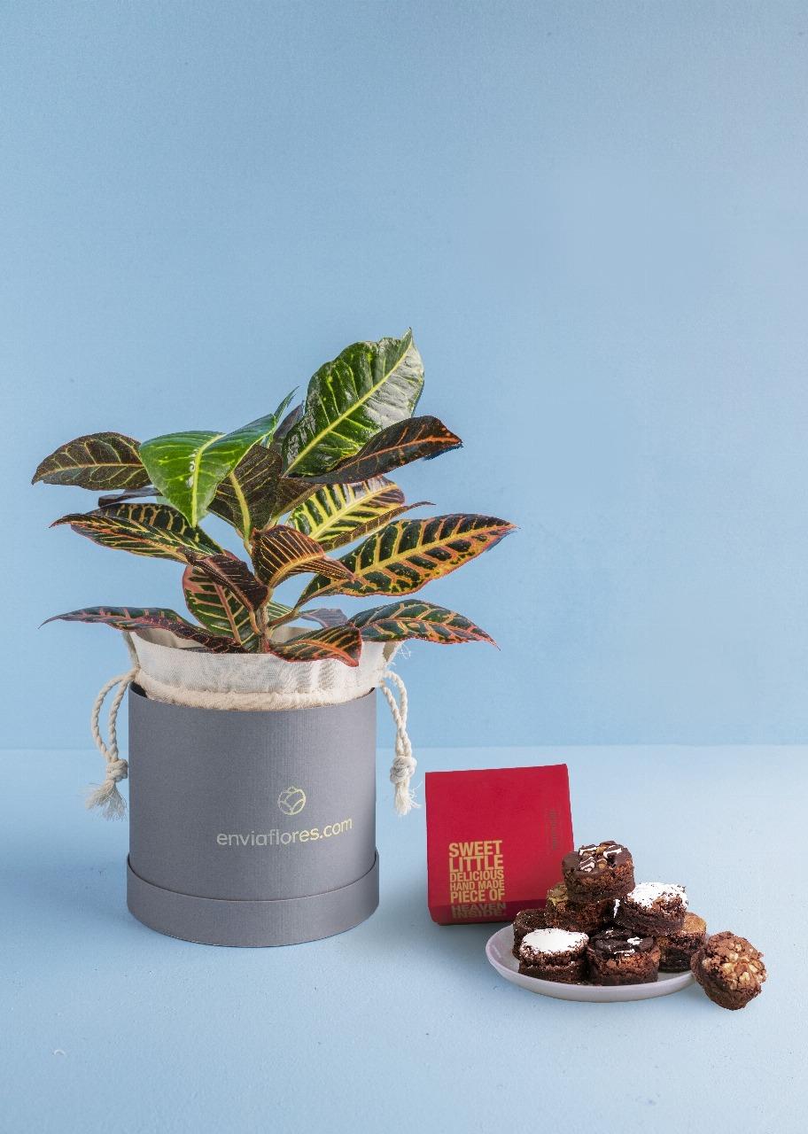 Imagen para Brownies 8 pz y Planta Decorativa - 1
