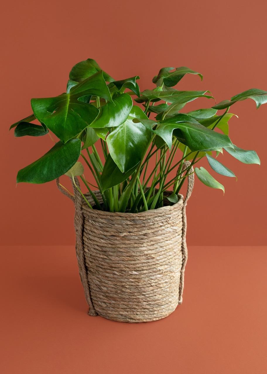 Imagen para Planta monstera pinanona en canasta - 1