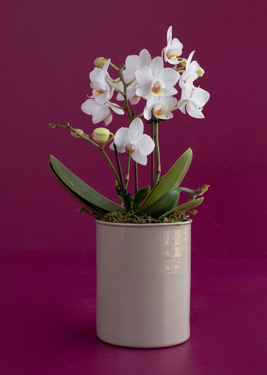 Imagen para Mini Orquídea blanca - 1