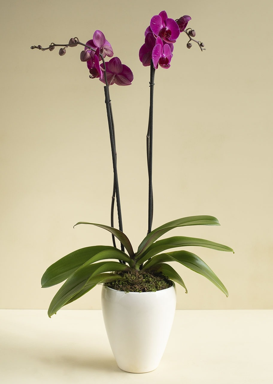 Imagen para Purple Orchid in a Flower Pot - 1