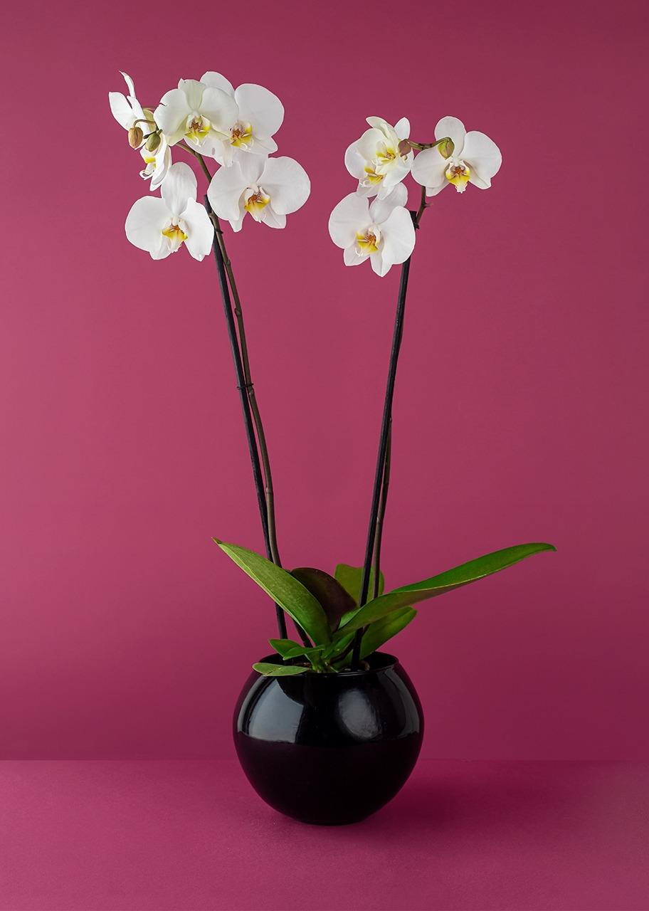 Imagen para Orquídea blanca en base negra - 1