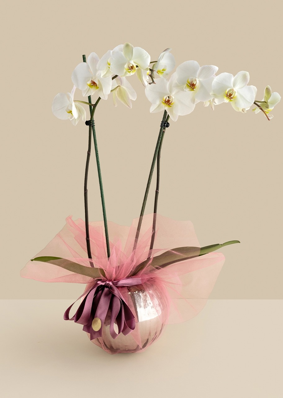 Imagen para White orchid with pink distinctive in gray fish tank - 1
