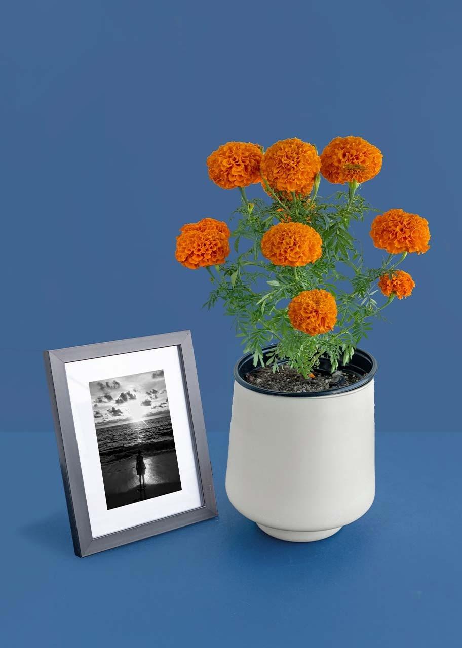 Imagen para Planta Cempasuchil con Marco Negro - 1