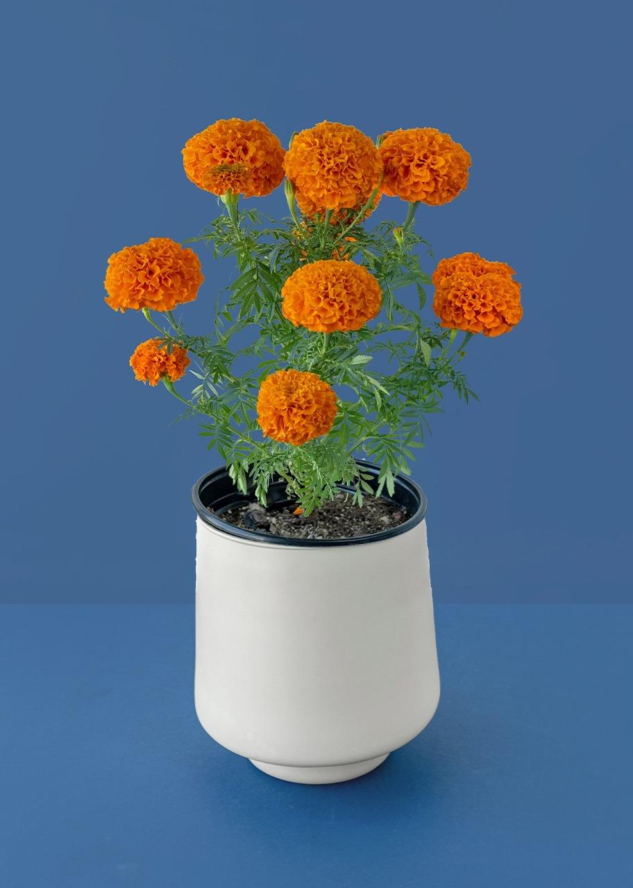 Imagen para Planta Cempasuchil en base beige - 1