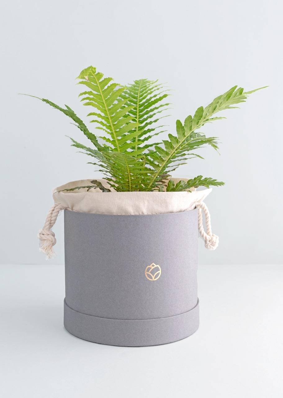 Imagen para Planta Helecho en caja - 1