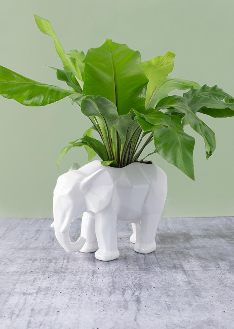 Imagen para Planta Nido de Ave en base de Elefante - 1
