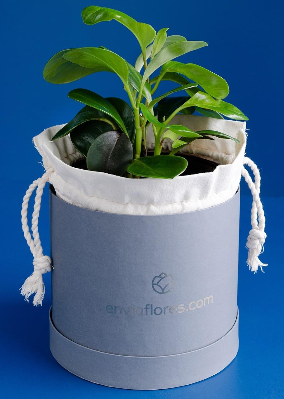 Imagen para Planta Peperomia - 1