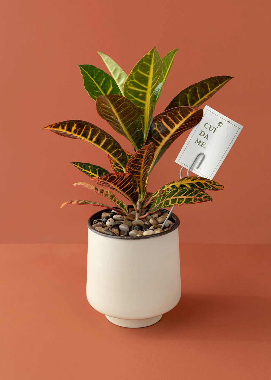 Imagen para Planta Croto en Maceta Beige - 1