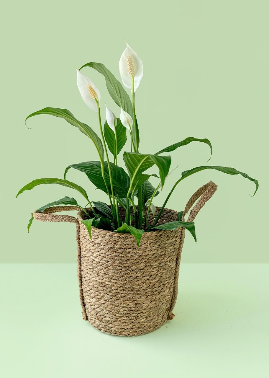 Imagen para Plant Loca de Moses in Basket - 1