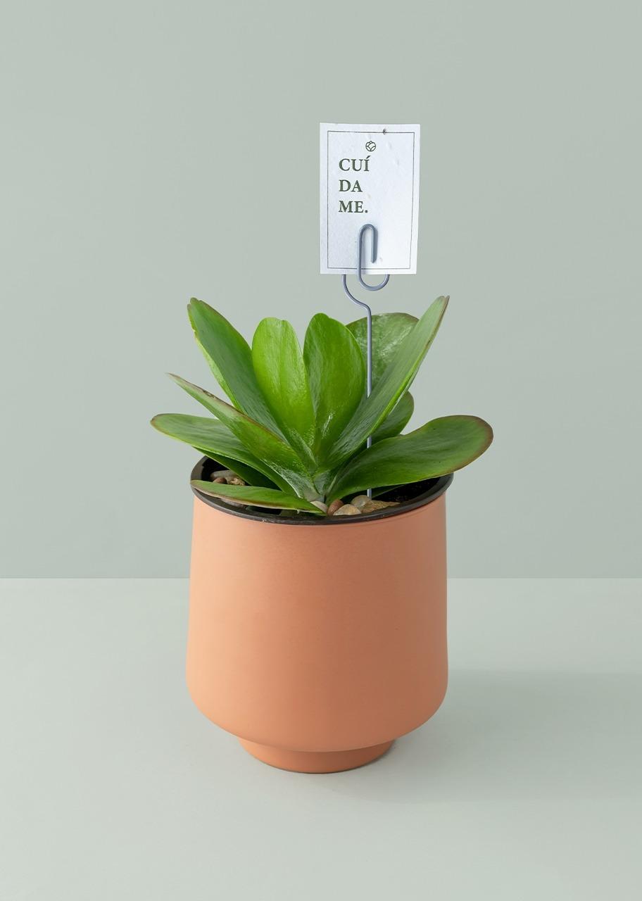 Imagen para Planta Kalanchoe en Maceta Naranja - 1