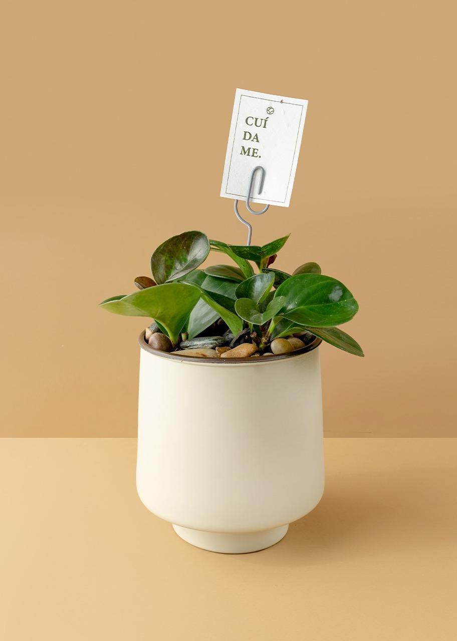 Imagen para Planta Peperomia en Maceta Beige - 1