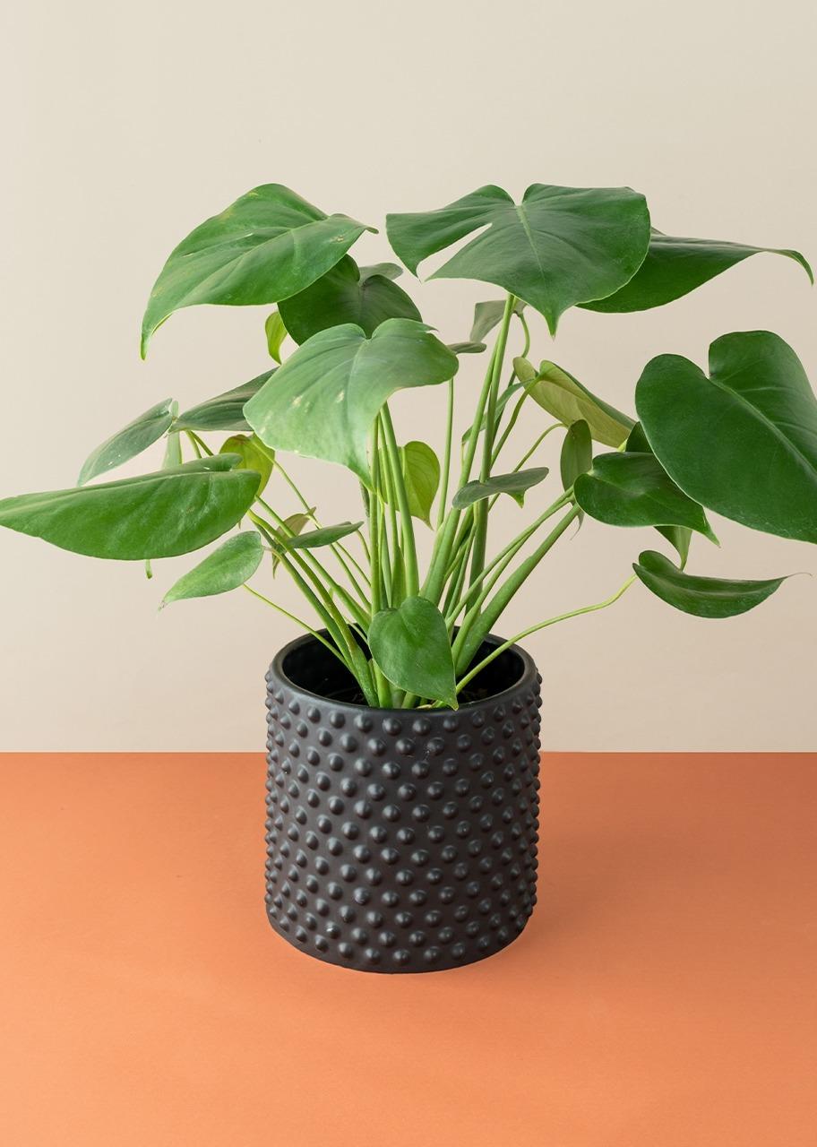 Imagen para Planta monstera pinanona en base negra - 1