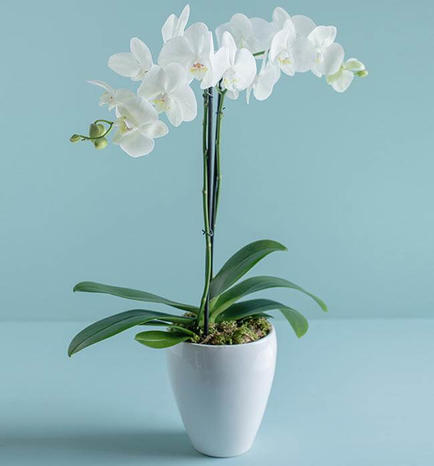 Beautiful Elegance Orchid Plant